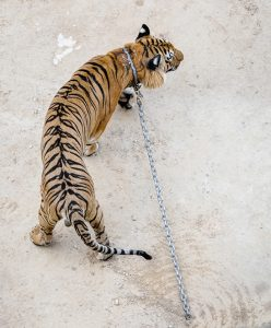 Tiger Temple in Thailand (Photo: Jo-Anne McArthur / We Animals)