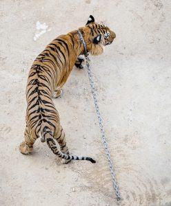Tiger Temple in Thailand (Photo: Jo-Anne McArthur / We Animals)