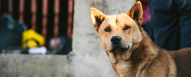 Indonesian dog