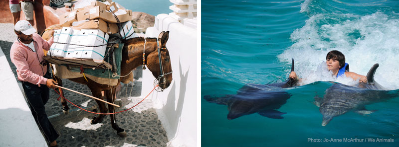 Santorini donkey/mule (photo: Charlie Marusiak) and Dorsal fin pull with captive bottlenose dolphins (photo: Jo-Anne McArthur / We Animals)