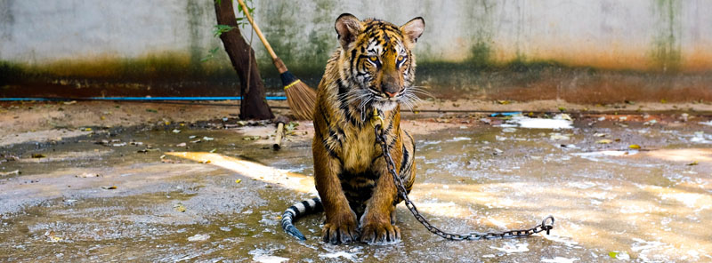 Tiger Temple (photo: Chaz McGregor)
