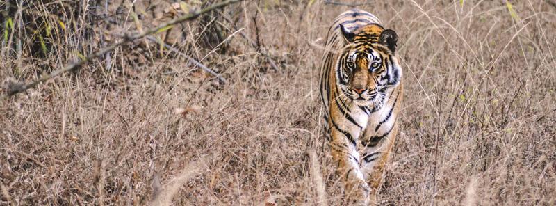 Wild tiger at Bandhavgarh National Park, India (photo: Sam Power)
