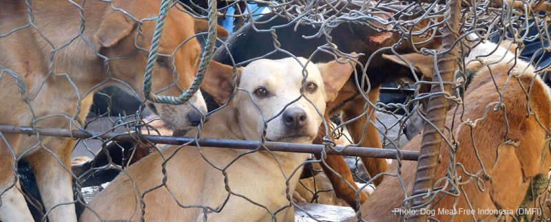 Terrified dog awaiting slaughter peers from cage, Tomohon Extreme Market (Photo: Dog Meat Free Indonesia / DMFI)